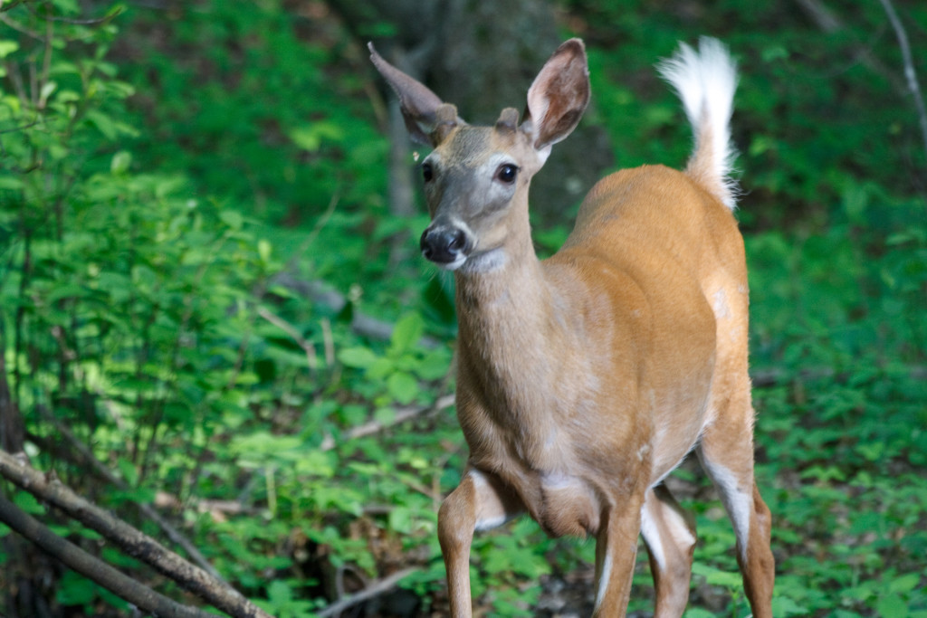 White-tailed deer photographed near the uplands site. Photo by Andrew Joslin