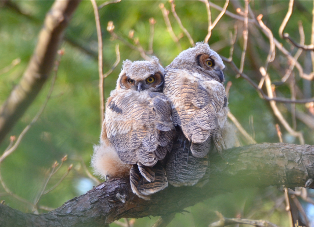 A pair of great horned owls that nest at Habitat near 178 Marsh Street.